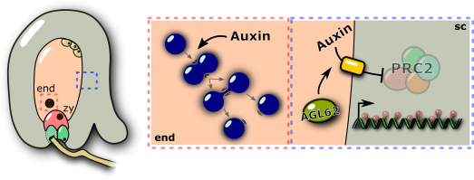 auxin_fertilization