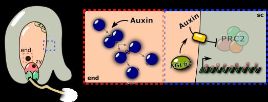 auxin_fertilization
